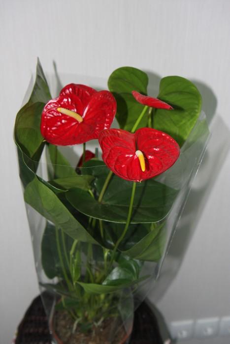 Комнатный цветок с листьями сердечками