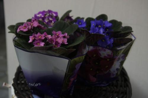 Уход за комнатными растениями фиалка