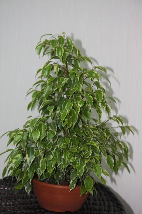 b уход /b за комнатными растениями b фикус/b.