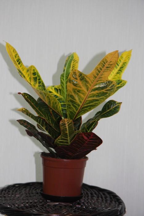 Комнатные растения кротон уход