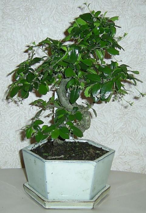 Комнатные растения фикус бонсай